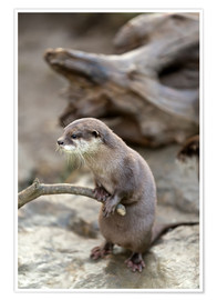 Póster Premium  Otter with walker
