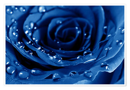 Póster Premium  Blue Roses with Water Drops