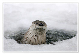 Póster Premium  Otter from the ice - Ronald Wittek