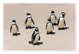 Póster Premium  Gruppe afrikanischer Pinguine, Boulders Reserve, Boulders Beach - Catharina Lux
