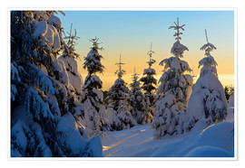 Póster Premium Snow-covered spruce trees at sunrise on Wurmberg in the Harz