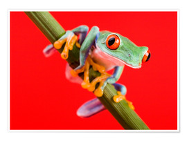 Póster Premium  Tree frog on red