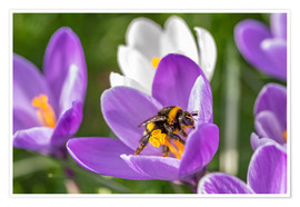 Póster Premium  Spring flower crocus and bumble-bee - Remco Gielen