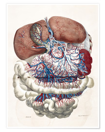 Póster Premium Internal organs, Liver, Stomach, Intestines