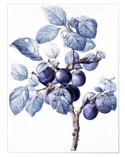 Póster Premium Branch of a plum with fruits
