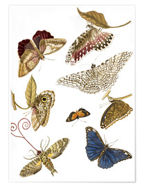 Póster Premium  Moths and butterfiles - Maria Sibylla Merian