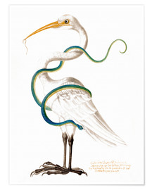Póster Premium  Heron encircled by a snake, with a worm in his bill - Maria Sibylla Merian