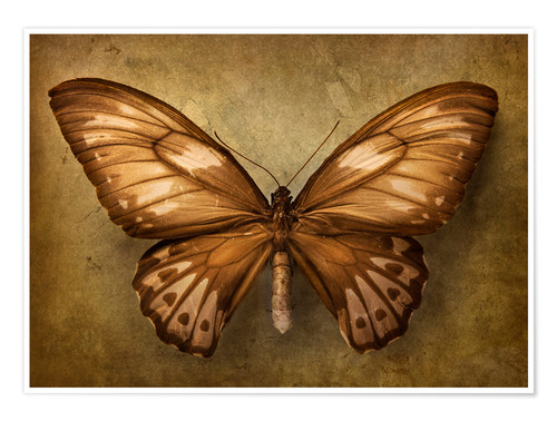 Póster Premium Brown butterfly