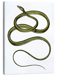 Quadro em tela  Long-nosed Tree Snake - German School