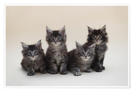 Póster Premium Maine Coon Kittens 2