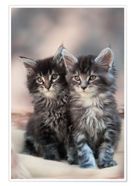 Póster Premium Maine Coon Kittens 3