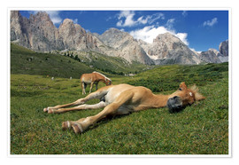 Póster Premium Peacefully sleeping Haflinger foal on a mountain meadow