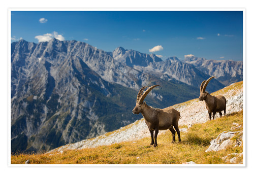 Póster Premium Two Alpine Ibex in front of Mount Watzmann