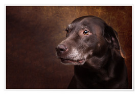 Póster Premium Old Chocolate Labrador Portrait