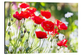 Quadro em alumínio  Red poppies on a sunny day