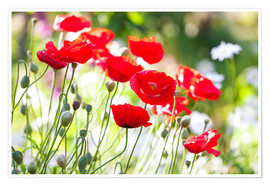 Póster Premium  Red poppies on a sunny day