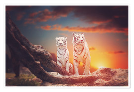 Póster Premium  Two white tigers