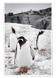 Póster Premium  Three penguins with rocks in the background