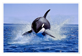 Póster Premium Jump of the orca