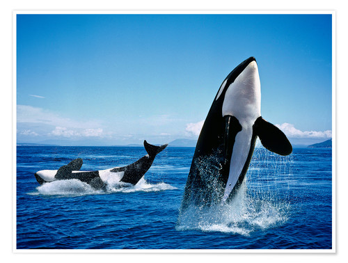 Póster Premium Performance of the killer whales