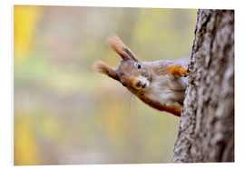 Quadro em PVC  Red Squirrel in an urban park in autumne - imageBROKER