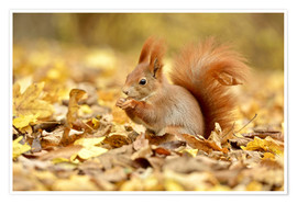 Póster Premium  Red Squirrel in an urban park in autumn