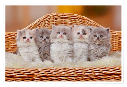 Póster Premium Five British Longhair kittens