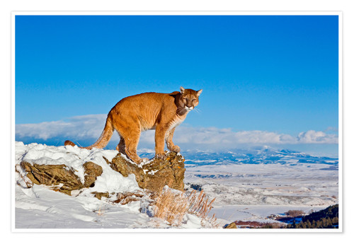 Póster Premium Puma standing on rock in snow, Rocky Mountains