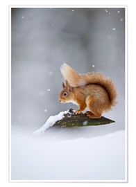 Póster Premium Eurasian Red Squirrel standing on branch in snow