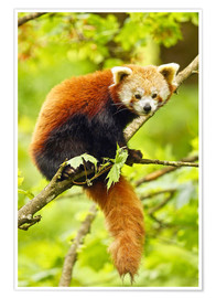 Póster Premium  Red Panda sitting in tree