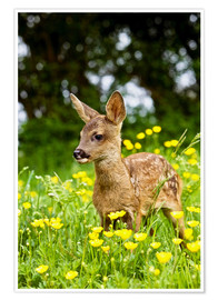 Póster Premium  Roe Deer fawn in flower meadow, Normandy - Gérard Lacz