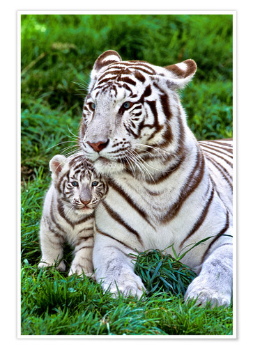 Póster Premium White tiger mother with child
