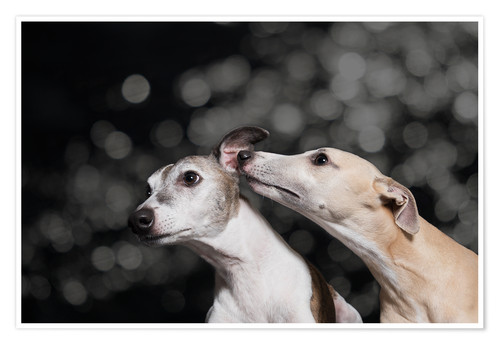 Póster Premium Whippet friends