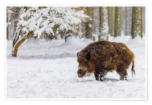 Póster Premium Boar in the snow