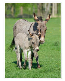 Póster Premium  Donkey mum and her little baby