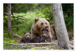 Póster Premium Brown bear with cubs in forest
