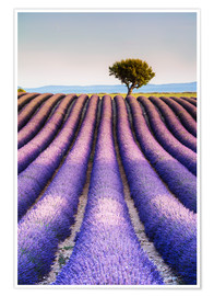 Póster Premium Tree in a lavender field, Provence
