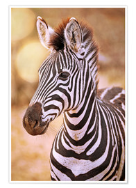 Póster Premium Young Zebra, South Africa