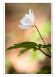 Póster Premium Wood anemone - blooming with soft background