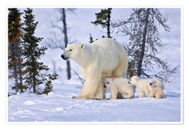 Póster Premium  Polar bear with three cubs in the tundra