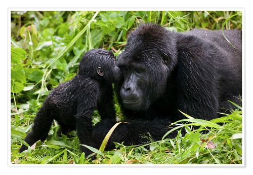 Póster Premium Infant mountain gorilla with mother
