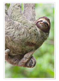 Póster Premium  A Brown-Throated Sloth and her baby