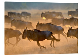 Quadro em acrílico  Wildebeests during the great migration, Serengeti - age fotostock