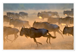 Póster Premium  Wildebeests during the great migration, Serengeti - age fotostock