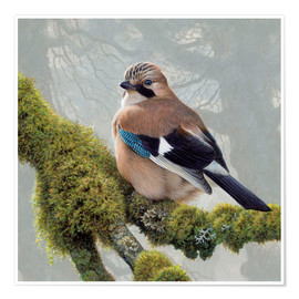 Póster Premium  Eurasian Jay sits on a mossy branch - Ikon Images