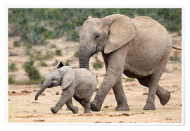 Póster Premium  African elephant and calf