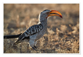 Póster Premium  Southern yellow-billed hornbill - James Hager
