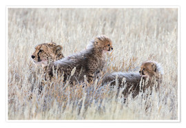 Póster Premium  Cheetah with cubs