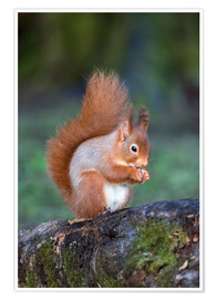 Póster Premium  Red squirrel (Sciurus vulgaris)