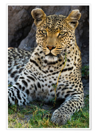 Póster Premium  Leopard resting in the shade - Sergio Pitamitz